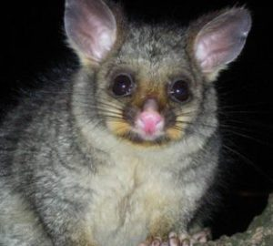 Possum Removal In Melbourne